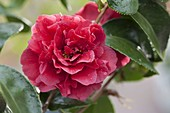 Camellia 'Kirin-No-Homare' (Kamelie)