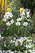 Narcissus poeticus recurvus (Poetaz - Narzisse), Tulipa (Tulpen), Viola 'Eta