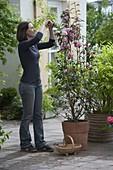 Frau schneidet lange Triebe von Camellia (Kamelie) zurück