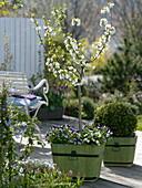 Prunus Cerisier 'Nabella' (Zwerg - Sauerkirsche) von Delbard