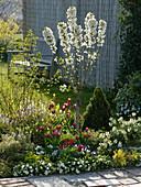 Prunus Cerisier 'Maynard' (Kirschbaum), Mini-Kirschbaum