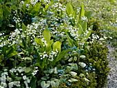 Convallaria majalis (Maiglöckchen), Brunnera macrophylla 'Jack Frost'