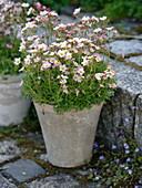 Saxifraga arendsii (Moossteinbrech)