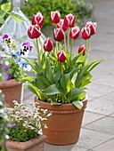 Tulpen im Herbst in Kübel setzen