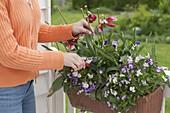 Frau schneidet verblühte Blüten von Tulipa (Tulpen) ab