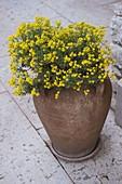 Alyssum montana (Steinkraut) in Terracotta - Vase