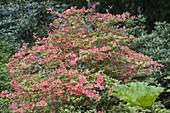 Rhododendron japonicum (Azalea mollis Sämling)