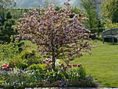 Malus sargentii 'Rosea' (Zierapfelbaum), Tulipa (Tulpen), Erysimum