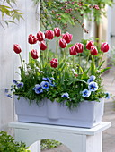 Tulipa 'Leen van der Mark' (Tulpen), Viola wittrockiana (Stiefmütterchen)