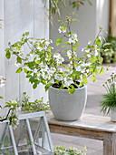 Viburnum plicatum (Japanischer Schneeball)