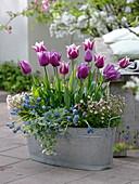Tulipa 'Ballade' magenta-weiß, 'Valentine' lila (Tulpen), Muscari 'Blue Magic