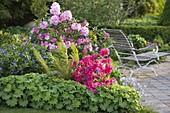 Rhododendron 'Scintillation' (Alpenrose) 'Georg Ahrens' (Japanische Azalee)
