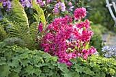 Rhododendron 'Georg Ahrens' (Japanische Azalee), Alchemilla