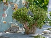 Zitronenthymian 'Golden King' (Thymus citriodorus) maritim dekoriert