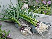 Frisch geernteter und gewaschener Knoblauch (Allium sativum)