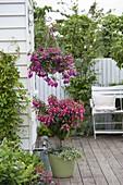 Fuchsia (Fuchsien) in Ampel und als Stamm unterpflanzt