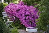 Rhododendron obtusum 'Kermesina' (Japanische Azalee)