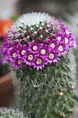 Mammillaria spinosissima (Warzenkaktus)