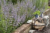 Flowering bed of Salvia officinalis (sage)