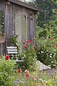Stuhl am Gartengerätehaus mit blühendem Papaver somniferum