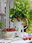 Frisch geerntete Erdbeeren und Erdbeerpflanzen im Topf