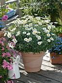 Argyranthemum frutescens 'Harvest Snow' (Strauch - Margerite)
