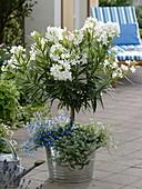 Nerium oleander 'Soeur Agnes' (Weißer Oleander) unterpflanzt mit Lobelia