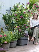 Historische Rosa 'Charles de Mills' (Strauchrose) einmalblühend