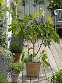 Ficus carica (Echte Feige)
