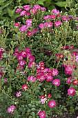 Rosa 'Pretty Girl' (Bodendecker-Rose), robuster Dauerblüher