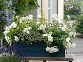Blauer Holzkasten mit Rosen und Thymian