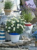 Argyranthemum (Margerite), Lavandula 'Hidcote Blue' (Lavendel) maritim