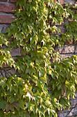 Parthenocissus tricuspidata 'Veitchii' (Jungfernrebe)