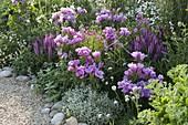 Godetia (Sommerazalee, Atlasblumen), Salvia nemorosa 'Sensation Deep