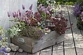 Holzkiste bepflanzt als Mini-Garten : Ptilotus exaltatus 'Joey'