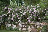 Rosa 'The Fairy' (Bodendecker - Rosen) auf Trockenmauer
