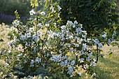 Philadelphus 'Dame Blanche' (Zwerg - Pfeifenstrauch, Gartenjasmin