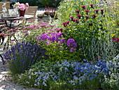 Blau - pink - rotes Beet : Lavandula 'Hidcote Dark Blue' (Lavendel), Phlox