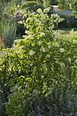 Trypterygium regelii (Dreiflügelfrucht), Tcm - Heilpflanze