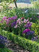 Blau - rosa - lila - pinkes -Duftbeet im Bauerngarten