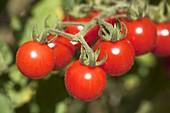 Kirsch - Tomaten (Lycopersicon)