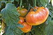 Fleisch - Tomate 'Ananas' (Lycopersicon) mit süßem Geschmack