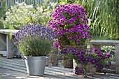 Lavendel 'Aromatic Blue' (Lavandula), Pelargonium grandiflorum Aristo 'Violet'