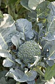 Brokkoli (Brassica oleracea var. italica)