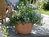 Nepeta racemosa 'Snowflake' (weiße Katzenminze), Campanula persicifolia