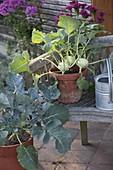 Kohlrabi (Brassica oleracea var. gongylodes) in Tontopf