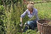 Frau schneidet Campanula persicifolia (Pfirsichblättrige Glockenblume) zurück