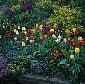 Frühlingsbeet m. Alyssum / Steinkraut, Tulipa / Tulpen, Narcissus / Narzissen , Erysimum / Goldlack, Myosotis / Vergissmeinnicht
