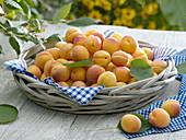 Aprikosen (Prunus armeniaca) im breiten Holzkorb