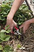 Mit Stroh gemulchte Erdbeere (Fragaria) zurückschneiden
